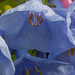 mertensia virginica, ouryard, jdy101 XX200904115352.jpg