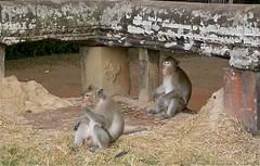 Angkor Apes - Cambodia (jcbkk1956) Tags: old city temple nikon cambodia khmer angkorwat monkeys siemreap apes