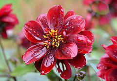 Soaked!  (Happy Thursday Flower) (Eleanor (No multiple invites please)) Tags: uk red flower garden raindrops dhalia stanmore queensbury october2014 nikiond7100
