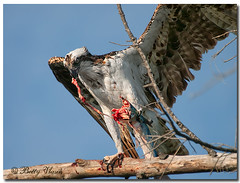 Osprey with dinner (Betty Vlasiu) Tags: bird nature dinner with florida wildlife osprey pandion haliaetus