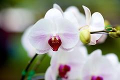 IMG_3350 (-WANLOP) Tags: orchid flower canon thailand bokeh nakhonpathom ef135mmf2l eos5dmarkii