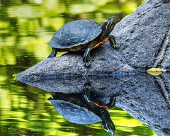 Ponderous Pond-dweller (Rev.Gregory) Tags: cemetery ma greg turtle massachusetts olympus salem 75300mm gregory paintedturtle greenlawn em10 vozzo sunturtle mzuiko