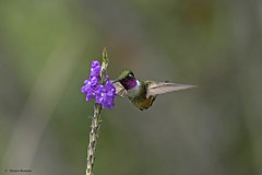 Magenta-throated Woodstar (Calliphlox bryantae) (roman_mauro) Tags: wild flower nature birds am costarica hummingbird wildlife magenta aves ro mauro gem throated neotropic woodstar calliphloxbryantae