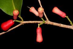 Syzygium claviflorum (andreas lambrianides) Tags: myrtaceae australianflora australiannativeplants arfp australianrainforests australianrainforestplants qrfp ntrfp arffs australianrainforestfruits greysatinash australianrainforestseeds redarffs cyrfp australianrainforestfruitsandseeds syzygiumclaviflorum acmenospermaclaviflorum eugeniaclaviflora