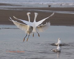 Snowy egret chest bumps (Victoria Morrow) Tags: