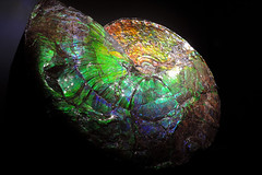 Ammolite (Iridescent Ammonite Fossil) (Drriss & Marrionn) Tags: usa nature blackbackground museum wow fossil dallas victoriapark rocks crystals texas bright stones science minerals iridescent gems gemstones dallastx ammolite naturalrocks blinkagain bestofblinkwinners blinkagainsuperstars perotmuseum blinksuperstars calcentite iridescentammonitefossil