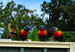 DSC_0073 (RUMTIME) Tags: bird nature birds fly flying flight feathers feather lorikeet queensland coochie coochiemudlo