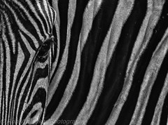 Black and White (Rob Whittaker Photography) Tags: africa abstract canon mammal stripes creative safari westafrica zebra namibia animalplanet etosha angola sossusvlei namibianwildlife southernafrica africanwildlife namibdesert burchellszebra wildlifephotography canonphotography etoshanationalpark okaukuejo burchell namibnaukluftnationalpark robertwhittaker etoshanamibia oshikoto namibiaoverland africaphotography sossusvleipan canonwildlife swafrica abstractafrica sazzoo robwhittaker robwhittakerphotography eos300mmf4 sazzoocom robertwhittakerphotography oasisafrica ©robwhittakerphotography nambiaphotography