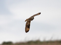 Short Eared Owl Asio flammeus 0031 (cwoodend..........Thanks) Tags: raptor owl shortie 2015 shortearedowl hawling inexplore thebestnatureinexplore asioflamme