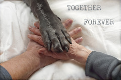 2-52  Together forever (aenee) Tags: paw hands together week2 therapydog bluegreatdane aenee dsc2973 zorgdier 52weeksfordogs xziva blauweduitsedog 20150106