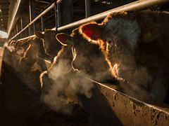 Breath hangs at sunrise (Getty listed) (Alan10eden) Tags: morning winter light house animals sunrise canon dawn early frost cattle bokeh farm beef breath shed sigma frosty steam eat northernireland chilly feed farmer stores silage bovine daybreak trough finishing ulster calves tmr charolais simmental ruminant animalwelfare countyarmagh 70d 1770mm beefhouse qualityassured feedfence alanhopps feedrail slattedshed