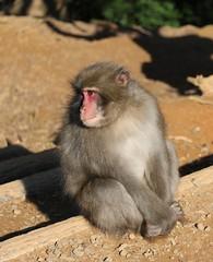 Macaque Monkey, Iwatayama Monkey Park, Arashiyama, Kyoto (djryan78) Tags: japan monkey kyoto arashiyama macaque iwatayamamonkeypark