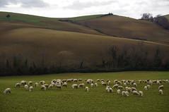CAMPAGNA MAREMMANA_594m (opaxir) Tags: landscape tuscany toscana paesaggio maremma