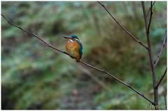 Kingfisher (7D023740) (Hetwie) Tags: bird nederland kingfisher vogel noordbrabant helmond ijsvogel alcedoalthis