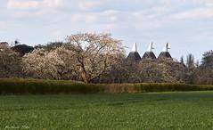 Kentish Oast Houses with Apple Blossom (Taoyuanming) Tags: uk kent europe earth appleblossom oasthouse nikonais180mmf28ed leescourt sonya7r