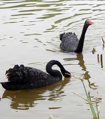 2016_04_11 440d1 (Gwydion M. Williams) Tags: china chengdu swanlake sichuan blackswan pandas blackswans giantpandareserve