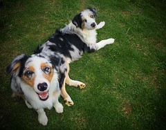 Aussie Doggies!!! (Juango8a) Tags: pastor ovejero australiano australian shepherd digiscoping kowa tsn773 juango8a juan ochoa juan ochoa gonzalo zuluaga aussie australiano colombia shepherd