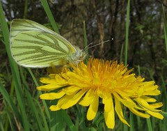 Green-veined White - Artogeia napi (Camerar) Tags: uk butterfly insect butterflies greenveinedwhite pieridae artogeianapi