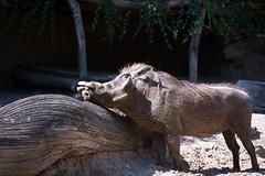 Warthog (Cloudtail the Snow Leopard) Tags: berlin animal mammal zoo pig schwein tier warthog africanus warzenschwein sugetier phacochoerus