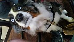 #servicedog #dog (natashasimpson1) Tags: dog servicedog