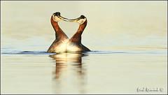 Courting Red-necked Grebe (Earl Reinink) Tags: morning light ontario canada water sunrise nikon earl waterfowl grebe d5 naturephotography nikond5 redthroatedgrebe earlreinink reinink rzauduhdra