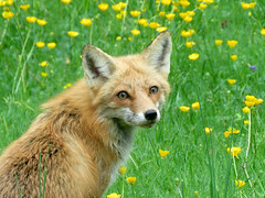 Red Fox (East Norriton) (stinkenroboter) Tags: redfox vulpesvulpes eastnorriton