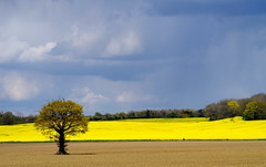 Tree in a sea of yellow. (pstone646) Tags: flowers sky panorama plants tree nature field yellow landscape countryside kent flora view