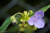 Tradescantia (Yorkey&Rin) Tags: macro japan may olympus neighborhood kanagawa rin kawasaki マクロ tradescantia 2016 近所 em5 5月 ムラサキツユクサ leicadgmacroelmarit45f28 t5290716