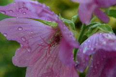 garden after the rain (Olivia Darby) Tags: flower english garden country mallow waterdroplets lavatera