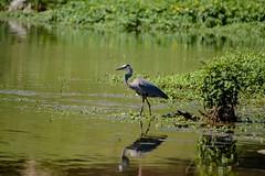 As You Were (brev99) Tags: reflection green bird water pond ngc greatblueheron d7100 tamron70300vc highqualityanimals