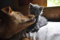 Faith Loves Sir Edwick the First (Kaitlyn Fisk Photography Offical) Tags: dog cute cat grey bed sweet faith gray first sir edwick siredwickthefirst