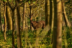 Deer (arawnthompson) Tags: trees nature grass animals canon woodland photography zoom forestry deer nervous
