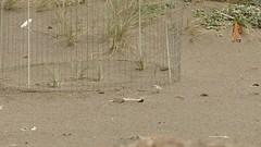 Female Snowy Plover nesting (Corvus707) Tags: california bird beach ecology sand snowy birding conservation breeding pointreyes endangered biology plover nesting shorebird pointreyesnationalseashore snowyplover threatened birdnerd