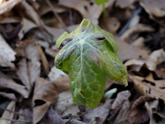Solitary (pilechko) Tags: color leaf spring pennsylvania newhope bowmanshill