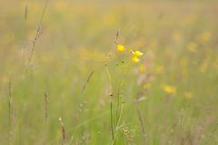 Buttercups (oandrews) Tags: flowers england plant flower nature floral yellow canon outdoors flora buttercup unitedkingdom irchester meadow ranunculus gb wildlifetrusts canonuk canon70d ditchfordlakesandmeadows 30dayswild
