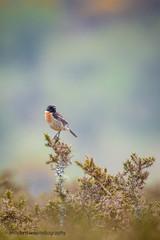 Stonechat (male) (ABPhotosUK) Tags: birds animals canon wildlife devon dartmoor teleconverter stonechat highdown chatsandthrushes ef14xextenderiii eos7dmarkii ef100400mmisii