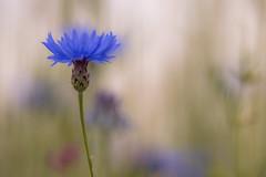 In het korenveld (Pieter ( PPoot )) Tags: blauw dof kleuren korenbloem palet korenveld