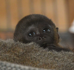 Olivia  baby woolly monkey (Carine06) Tags: monkey olivia dorset xingu primate monkeyworld chippy woollymonkey ktt2919