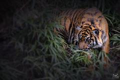 Rumble in the Jungle (dejongbram) Tags: nature animal zoo nikon tiger arnhem burgers predator