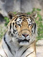 Portrait of Siberian Tiger (Johnnie Shene Photography(Thanks, 1Million+ Views)) Tags: wild portrait macro nature animal vertical canon lens wonder photography zoo interesting natural zoom outdoor head wildlife tiger vivid sigma tranquility nopeople korea headshot apo modified predator awe 70300mm tigris siberiantiger adjustment freshness dg panthera zoological felidae  fragility seoulzoo f456 biganimal   colourimage  foregroundfocus animaltheme eos600d rebelt3i kissx5 catspecies