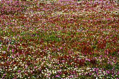 IMG_9836-1 (Andre56154) Tags: italien flowers italy pflanzen blumen sicily blten sizilien