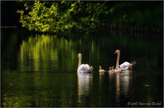 Good Night (Hans van Bockel) Tags: park water photoshop canal nikon raw nef ngc familie thenetherlands explore swans 70300mm singel tamron deventer gracht jongen nld dng zwanen plantsoen d7200