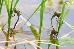 common green darner dragonflies laying eggs at Waukon City Park IA 854A7193 (lreis_naturalist) Tags: park county city green dragonflies reis iowa larry eggs mating common darner laying waukon allamakee