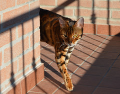 fifiloggia2 (Silve75) Tags: cats animal animals cat tiger gatto gatti tigre animali animale gatte gatta