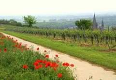Oppenheim, Weinberg (vineyard) (HEN-Magonza) Tags: germany deutschland vineyard poppy weinberg rheinlandpfalz oppenheim mohn rhinelandpalatinate