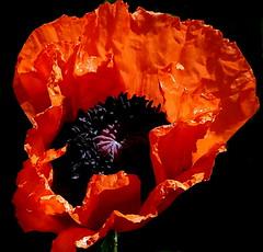 Red on Black Thursda  Flower (Maryjo25) Tags: garden poppy red