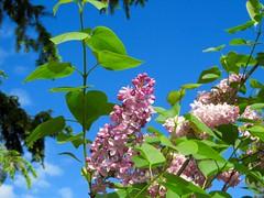 365-2-144 Normalcy returns to Calgary skies (benlarhome) Tags: canada calgary garden jardin alberta 365 garten