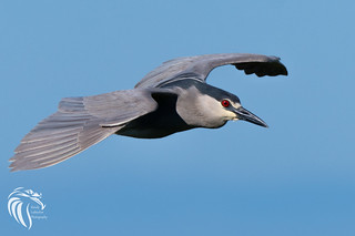 Black-crowned Night Heron - 17