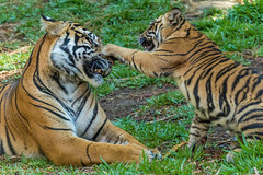 One on one playtime with Mom (ToddLahman) Tags: baby canon teddy tiger tigers cathy sumatrantiger joanne safaripark escondido canon100400 tigercub tigertrail sandiegozoosafaripark babysumatrantiger canon7dmkii