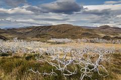 Paisaje post incendio (Andrs Photos 2) Tags: chile patagonia torresdelpaine magallanes sudamerica cielos sky pampa nubes cloud
